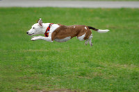 Jack Russel in flight